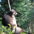 Alaska: Racoon