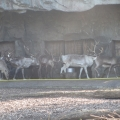Alaska: Hungry reindeers