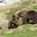Alaska: Kodiak bears fooling around