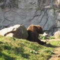 Alaska: Kodiak bear chilling in the sun