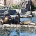 Alaska: Sea lions sunbathing