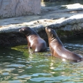 Alaska: Baby sea lions