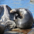 Alaska: Even a sea lion has to scratch an itch sometimes...