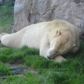 Alaska: Polar bear chilling