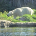 Alaska: The other Polar bear roaming