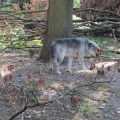 Alaska: One of the wolves