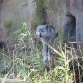 Alaska: The same wolf?