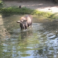 Alaska: Young moose in the water