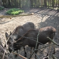 Alaska: Young moose having a snack