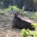 Alaska: Daddy moose