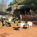 Africa: Sheep and goats enjoying the sun