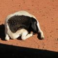 Africa: cute little sheep