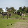 Africa: Zebras