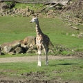 Africa: Baby giraffe, about 10 weeks old