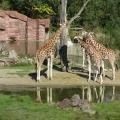 Africa: Giraffe