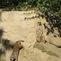 Africa: Meerkat