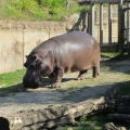 Africa: Hippo