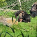 Africa: Chimpanzee family