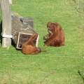 Asia: Grown-up and kid organ-utan